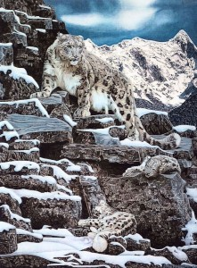 family of snow leopards