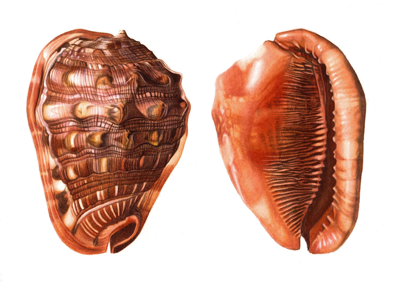 red helmet seashell