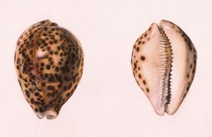 tiger cowrie shell